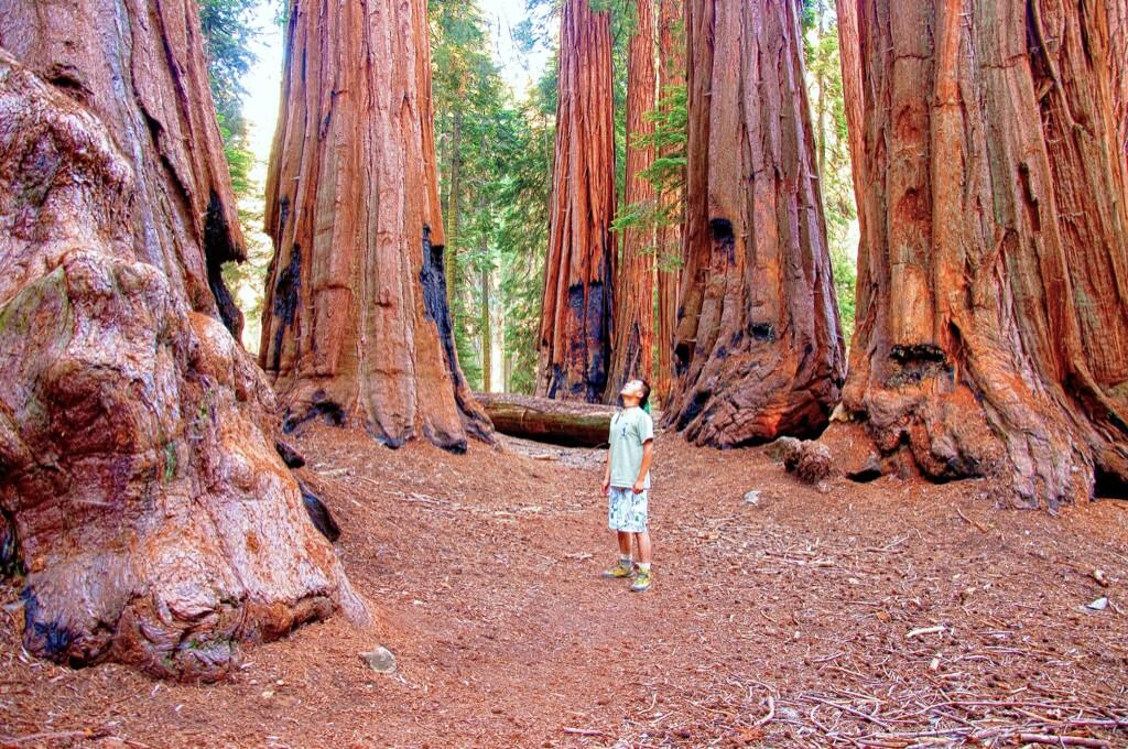 Giant redwoods in Sequoia-Kings National Parks