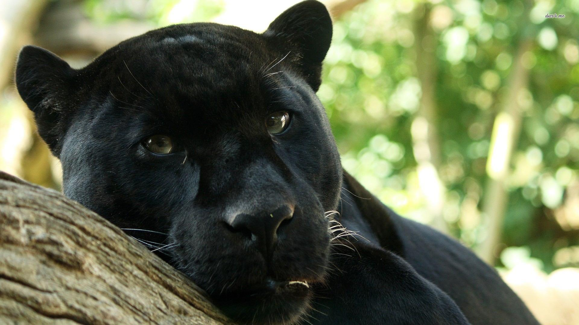 Twitter / Ginsterbabe: I'm watching you...Panther ...