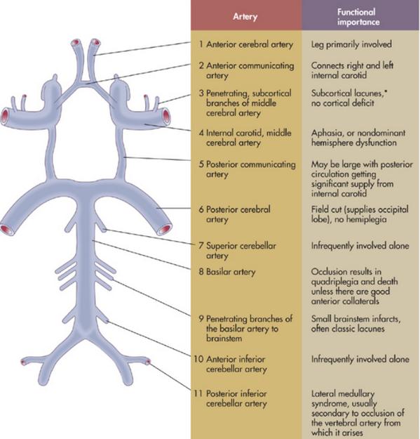 Internal Medicine On Twitter Anatomy Of The Circle Of Willis