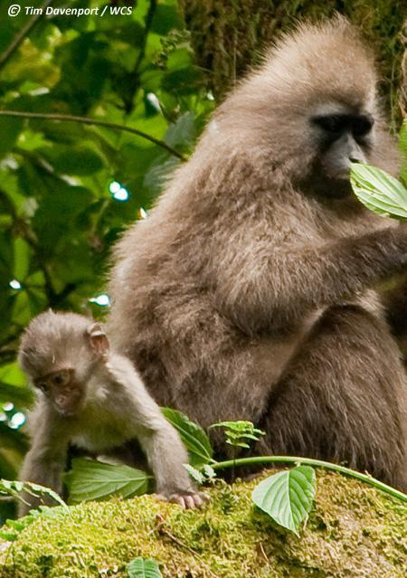 Meet the baby kipunji: first photo of little-known monkeys' offspring