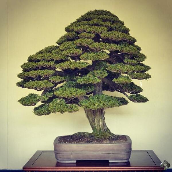 Bonsai Empire On Twitter Bonsai Picture Kokufu Hinoki Cypress By Bjorn Bjorholm See Http T Co Ldptmotnw4 Bonsai Japan Http T Co Eufo5jul2n