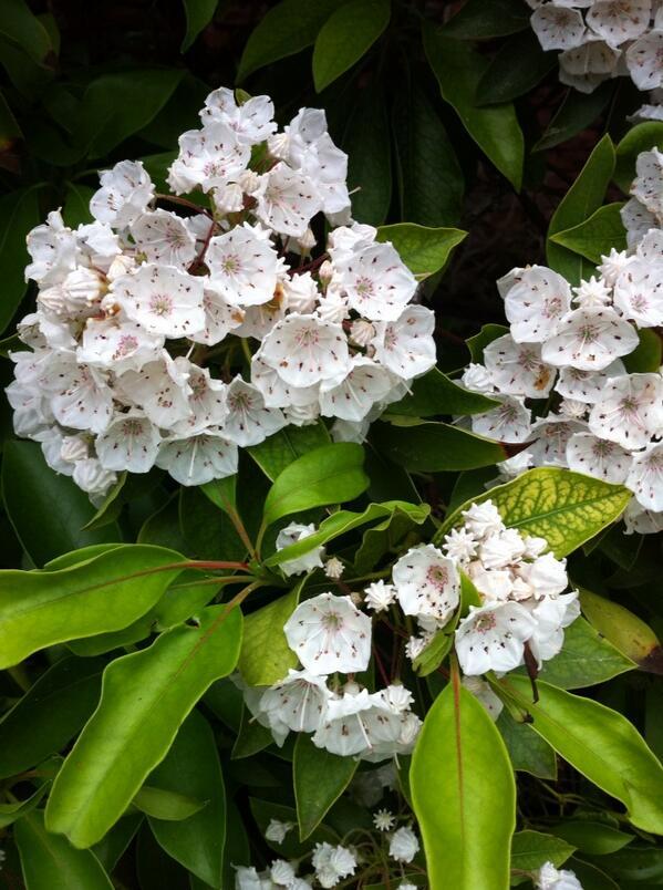 Elizabeth Stauderman On Twitter Ct State Flower Represent Http T Co 3kc7jfoen8