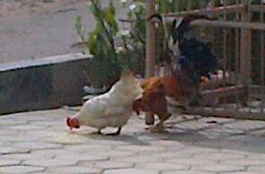 72+ Gambar Ayam Cari Makan Paling Hist