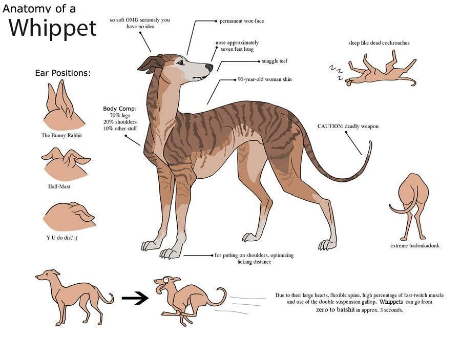 Ribsy the Whippet on Twitter: \