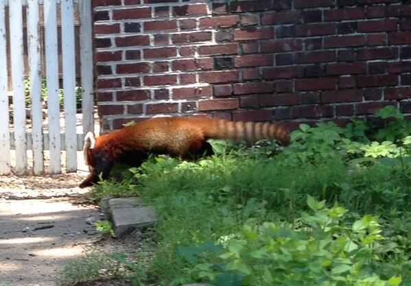 Spotted near 20th and Biltmore near Airy View condos at 1:25. Are you missing this guy?? @NationalZoo pic.twitter.com/v7KulXpNKE