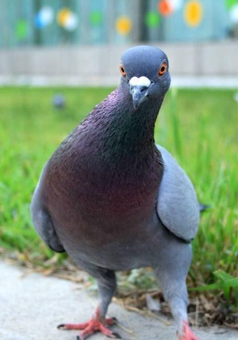 Картинки прикольные про голубей с надписью
