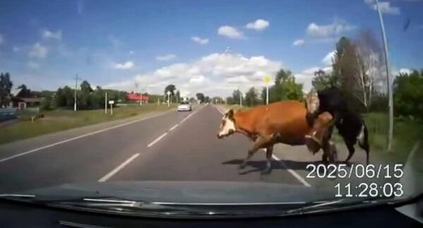 Un toro y una vaca copulan en medio de una carretera en Rusia y provocan un accidente [vídeo] http://t.co/dbLu0nE98X