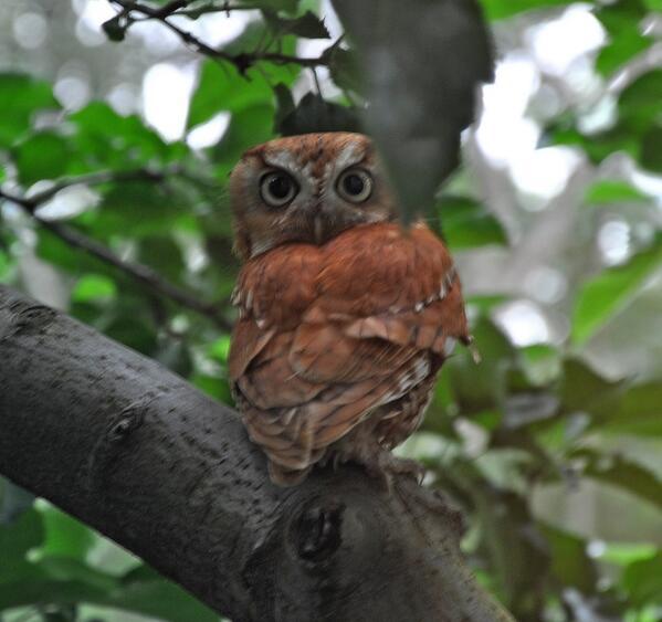 Backyard birding.  Screech owl http://t.co/94loPbevMa