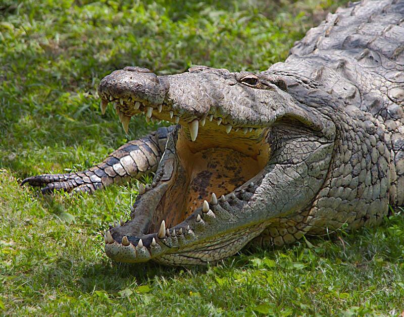 молитвы настоящие фото больших крокодилов важнейших частей подвески