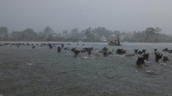 Chincoteague Pony Swim 2013: Assateague's Wild Horses Cross Chincoteague Channel In Annual Tradition (PHOTOS)