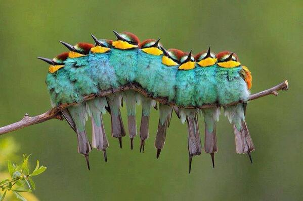 "Gorgeous - ""@stevyncolgan  Bee-eaters I think RT @mathemaniac Birds disguised as a caterpillar http://t.co/Xue1ZrLcXm """