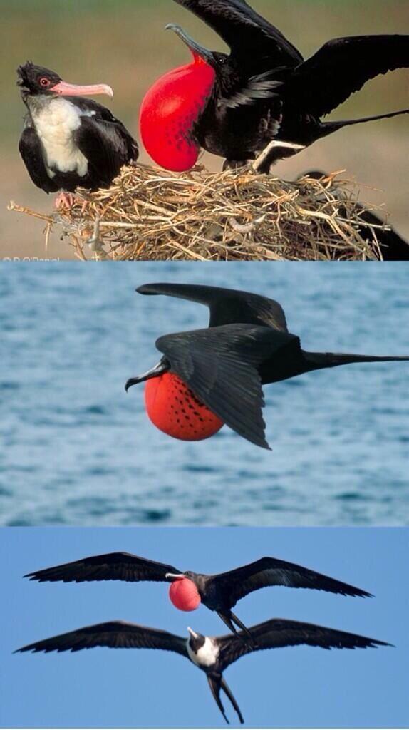 طيور فرقاطة الرائعة BPsfTc9CIAIEprj