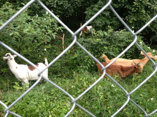 """Goats """"mowing the lawn"""" at the Congressional Cemetary! #goat #yummy pic.twitter.com/ElCnTvXgSc"""