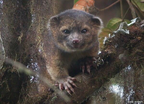 Here's more on first carnivore species found in western hemisphere in 35 years (#olinguito) bbc.in/13CDAV7 & http://twitter.com/BBCBreaking/status/368028036689440768/photo/1