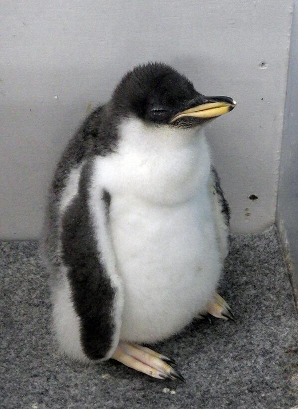 立ねペンギン