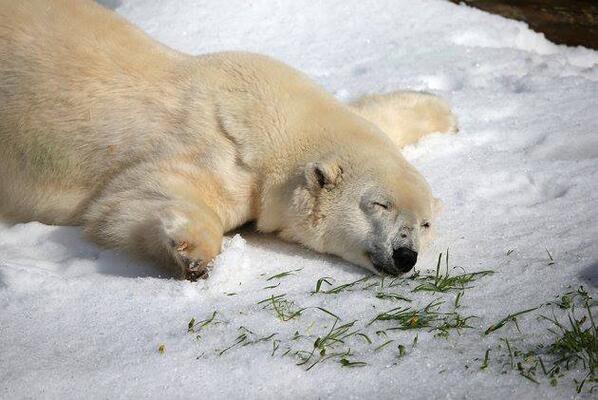 Pike, un ours polaire de 30 ans, a reçu 10 tonnes de neige pour son anniversaire dans un zoo de Californie. http://t.co/nPLheVWYmu