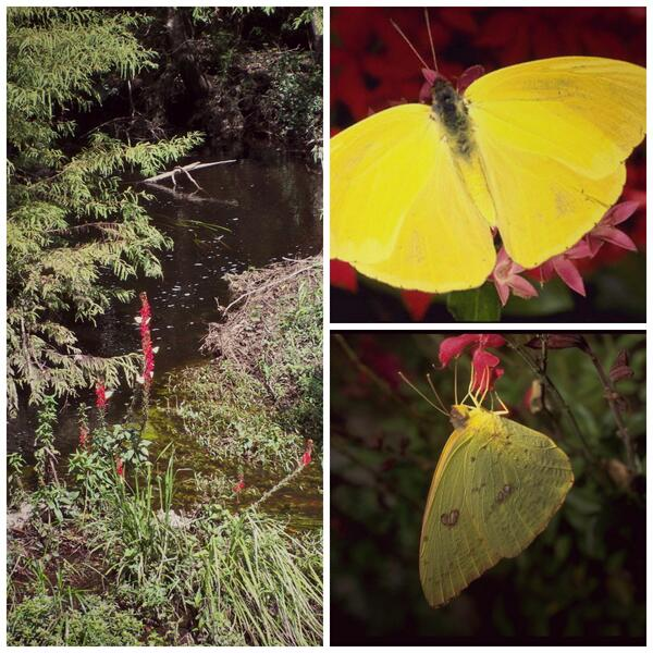 Not only is it time for those pesky lovebugs, but this is also when Cloudless Sulphur butterflies are migrating!