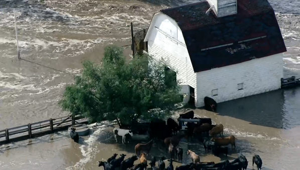 Rushing water covers this farm west of Evans, livestock grouped together in pen #BoulderFlood #COflood http://twitter.com/9NEWS/status/378646067505414144/photo/1