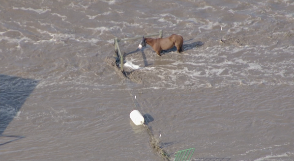 Sad video from Copter 4 of animals stuck in the #coflood waters outside Evans. Watch: cbsloc.al/1eaty6z http://twitter.com/CBSDenver/status/378647272533131264/photo/1