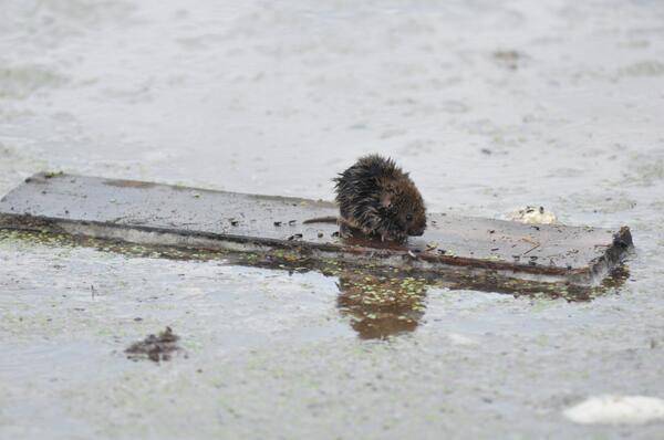 A mouse clings to a piece of wood in South Platte River flood waters east of Greeley. #cofloods http://twitter.com/northfortynews/status/378659679728959488/photo/1