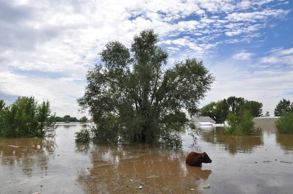 After swimming to escape South Platte River flood waters east of Greeley, a heifer pauses in the shallows. #cofloods http://twitter.com/northfortynews/status/378659402523226112/photo/1