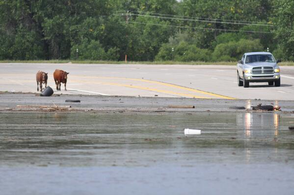 Confused cows try to cross a flooded Highway 34 east of Greeley. #cofloods http://twitter.com/northfortynews/status/378667421197819905/photo/1