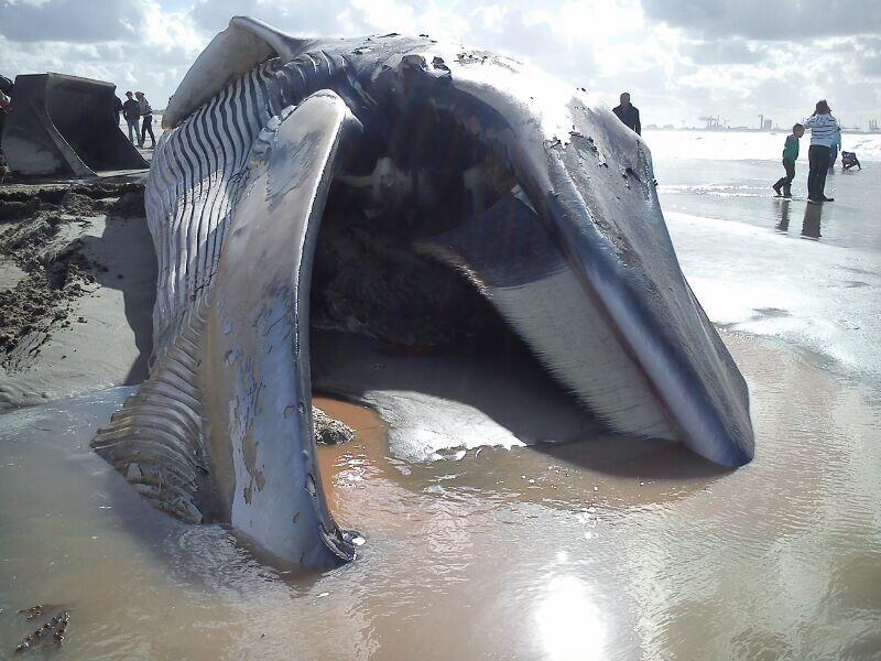 Grote walvis aangespoeld op het strand