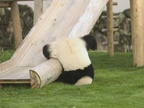 すべり台からコースアウトしてしまった子パンダ…。