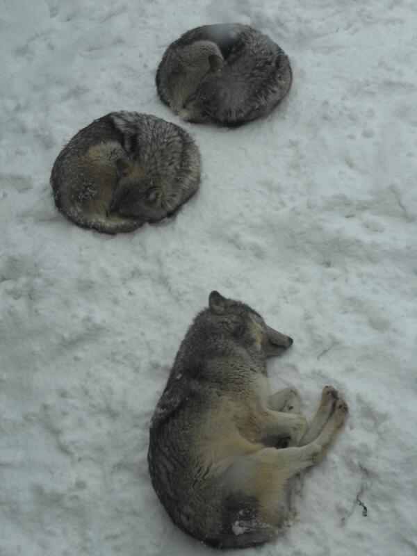 円山の狼は、運がいいとこんな寝姿が取れる