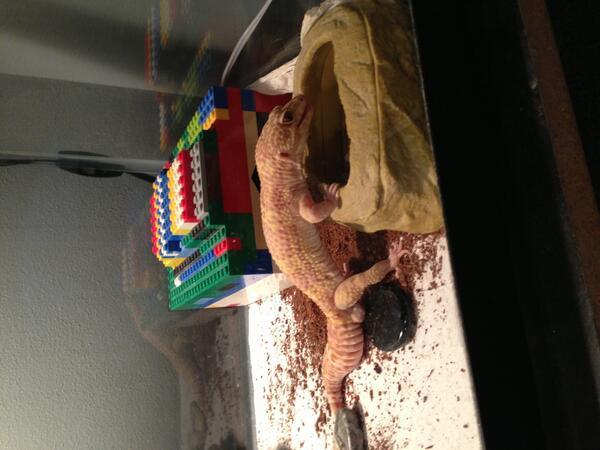 Gecko Guy Mrslend3rman Twitter