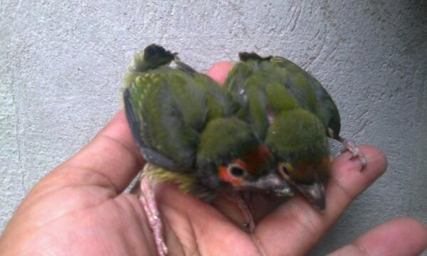 Media Tweets By Pasar Burung Lolohan Rumahkicaukmj Twitter