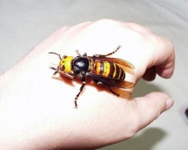 Sciame di Calabroni Killer, la vespa mandarinia