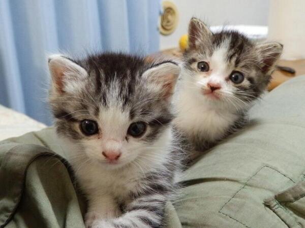 【再掲:子猫欲しい方いませんか?】 まだ離乳してないので世話に手間はかかりますが、ミルクを飲む可愛い姿が愛でられるのはあと少しだけです! 愛知県内でしたら日曜にでもお近くまで連れて行きますので、飼いたい方はリプライでご連絡下さい。 http://t.co/ubowwGJ4s6