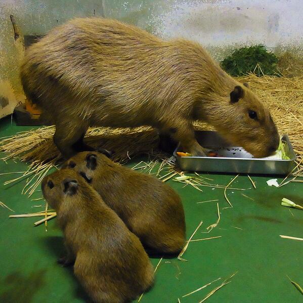(赤ちゃんが生まれました!)10月5日(土)カピバラのルナが2頭の赤ちゃんを出産しました!ルナ初めての出産ですが、しっかり子育てしています。小さくてもちゃんとカピバラですね。公開まで、しばらくお待ちください。(写真は6日の様子)