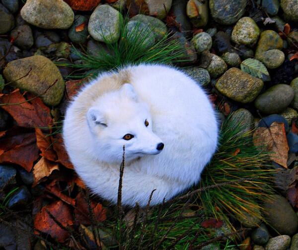 Firefoxロゴの冬バージョンみたいな真ん丸になったホッキョクギツネ