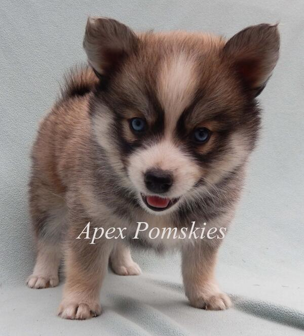 Pomsky With Blue Eyes Embedded image permalink