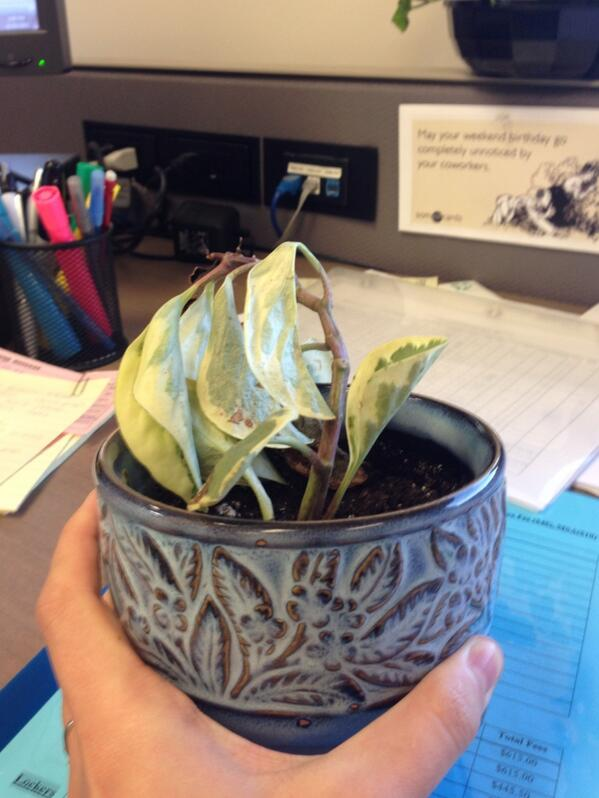 My very first office plant... #RIP #sorryimbad #notagreenthumb #bye #seeyanever<br>http://pic.twitter.com/c8xv4hYE8F