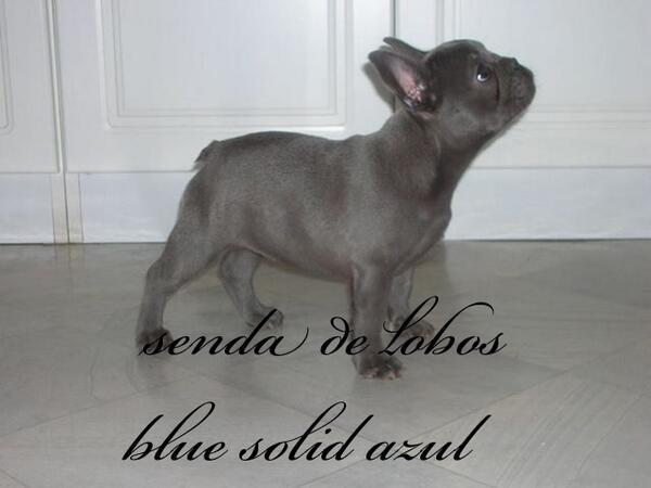 David Senda De Lobos على تويتر Bulldog Frances Azul Blue Unico En