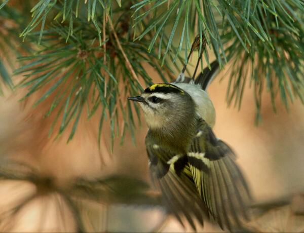 1st time!! Spotted golden crowned kinglet today #Chicago suburbs. 2nd smallest U.S. bird. #birds #birding #nature http://t.co/RUUY9Wp8C0