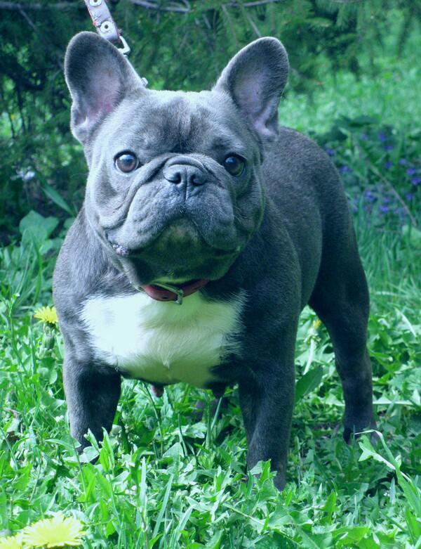 David Senda De Lobos On Twitter Bulldog Frances Azul Blue Nuestra