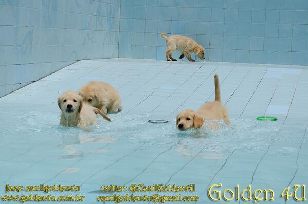 Canil golden retriever rio