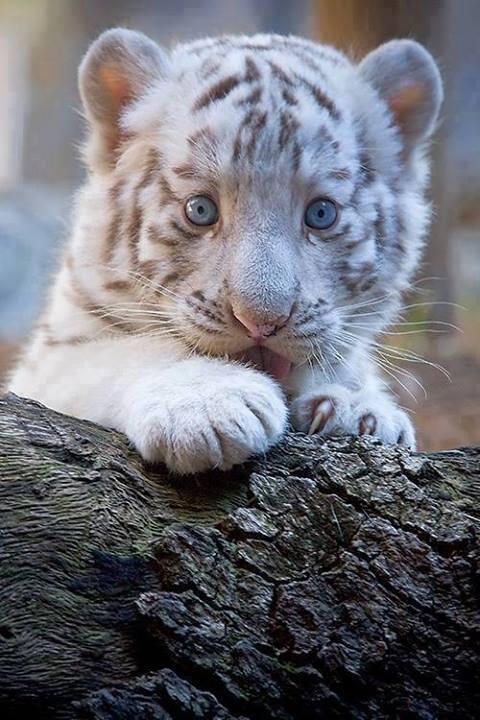 """El Mundo en Imágenes on Twitter: """"Tigre blanco bebé. http ..."""