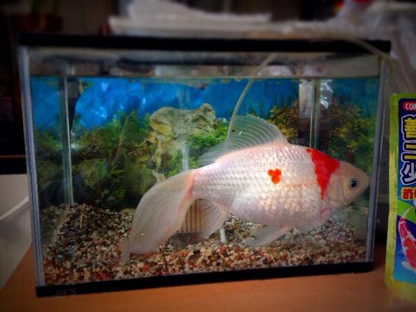 もうかれこれ6年くらいは飼ってる金魚。35センチくらいはあるよ大きさ。今日も元気ですな。 http://t.co/p52xKaz0Sb