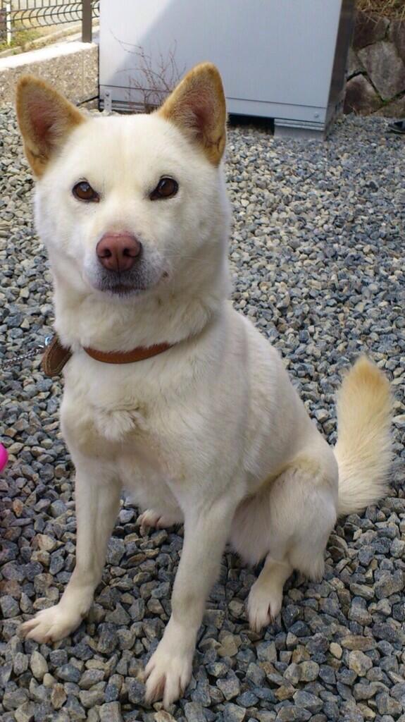 """探してあげて\わんダフル/の精神よ!""""@momoneko45: 【拡散願】RT @gon_momi: 白い雌犬(ピンクの鼻、両瞼の鼻よりが膨らんでいる)を探してます。H24年4月東広島市高屋IC付近で迷子。6歳位、柴犬位でやせ形。 http://t.co/6CNYTHew5K"""""""
