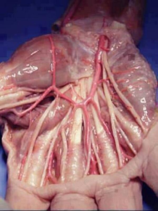 Iflscience On Twitter The Tendons And Muscles Of The Human Hand