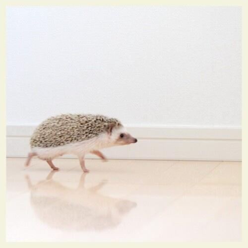 歩くハリネズミの画像