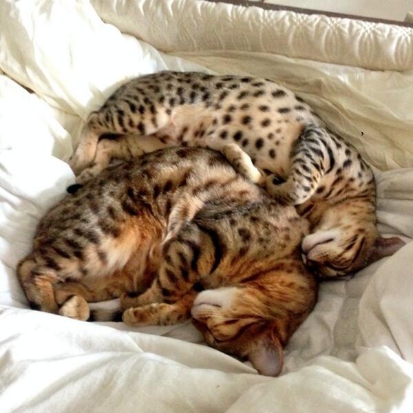 Anthony Padilla Cat Breed