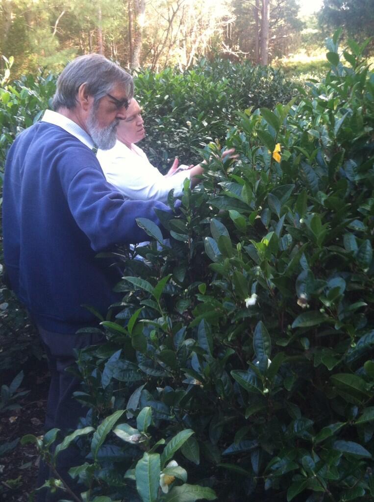 Us Tea Planting Tips Nigel Melican Teacraft Ltd