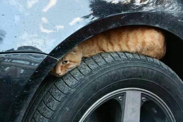 ボンネットの中やタイヤハウスの中、発車前に必ず覗いて、猫が入り込んでいないか確認して下さい。家族や友人、同僚、お知り合い等にも呼びかけて下さい。