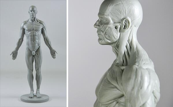 3dtotal On Twitter Our Affordable Male Anatomy Figure Is In